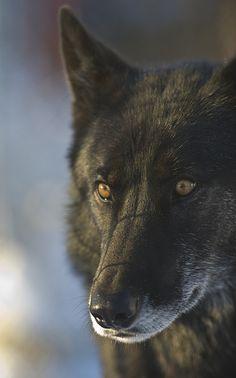 mystic-revelations:    Black Wolf 62  ByDan Newcomb Photography