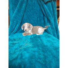 He's ready for his new house. Featuring cute blue eyes, as well as a beautiful dapple coat. Dachshund Puppies For Sale, Mini Dachshund, Dogs And Puppies, Puppy Pads, Fleas, Blue Eyes, Coat, House, Animals