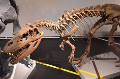 Squelette restauré de Torvosaurus tanneri, Museo de Ciencias, Madrid. Dinosauria, Saurischia, Theropoda, Megalosauridae, Megalosaurinae. Auteur : Javier Cuervo, 2011.