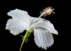 #bloom #blossom #close up #flora #flower #hibiscus #malvaceae #plant #white