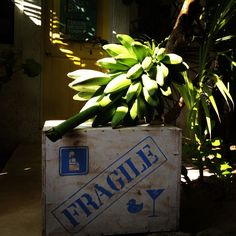 bananas from our garden