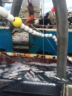 Pumping salmon off of a seiner in Prince William Sound.  Photo by Thomas Lopez.  www.seafoodapparel.com