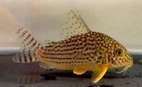 Corydoras Sterbai Catfish - are relatively small for catfish, growing to a maximum size of only four inches - I currently own six which are living in my 75 gallon aquarium.  Love them! ...Plus there is now a baby which is half grown now.  :-)