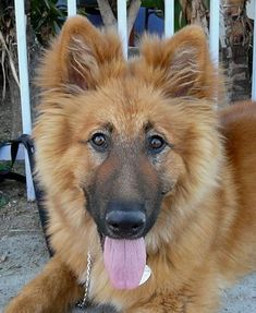 Image result for german shepherd golden retriever mix -- this is a bit more what I expected to see. Looks cute! Again, you can delete after you've seen this. #goldenretriever