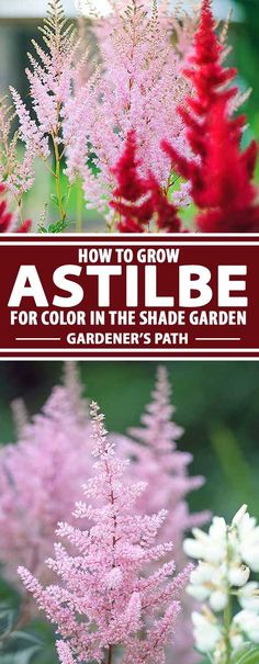 Looking for a nice accompaniment to hosta, fern, and heuchera? The shade garden has become my favorite corner of the yard, thanks to the patch of astilbe I've started. With bronze-green foliage, the real show comes when it blooms, with large plumes of creamy whites and pinks. Read more now on Gardener's Path.