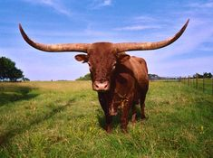 Texas Longhorn are all different from each other; personality, color ...