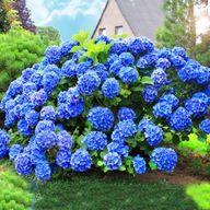 RÓŻOWA TRAWA PAMPASOWA~CORTADERIA - W DONICZCE P9 9430065009 - Allegro.pl Plants
