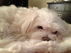 Maltese. Ivy's favorite matching blanket.  WATCH OUT....NO ONE STEP ON THE BABY!