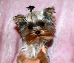 She is a beautiful tiny teacup Yorkie! This tiny Teacup Yorkie puppy is 6 months old and just she is very tiny! She will be around full grown. She is precious, and has a baby doll face! Teacup Yorkie, Yorkie Puppy, Tiny Puppies, Puppies For Sale, Yorshire Terrier, Buy A Dog, Cute Animal Photos, Dog List, White Dogs