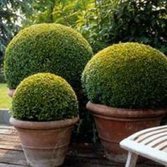 Box Ball topiary - Clipped buxus. A pair of these tightly rounded box spheres are excellent for flanking a set of steps, doorways or a path. They're perfect for planting in a large, well-drained, terracotta pot in a partially shady site, where the glossy, dark-green leaves provide all year foliage interest and structure. Easy to keep, just water well once a week all year round - (don't rely on rain as not enough gets into the pot)