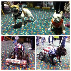 French Bulldogs, and a Handicapped Patriotic French Bulldog, what a strong spirit he must have.