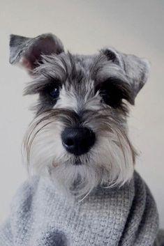 #minischnauzers #miniatureschnauzer #schnauzer Schnauzer Puppy, Beagle Dog, Miniature Schnauzer, Baby Dogs, Pet Dogs, Dogs And Puppies, Doggies, Bernese Mountain, Mountain Dogs