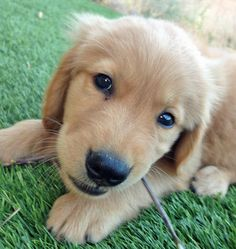 Simba the Golden Retriever via the Daily Puppy. I cannot tell you how much I want one of these!