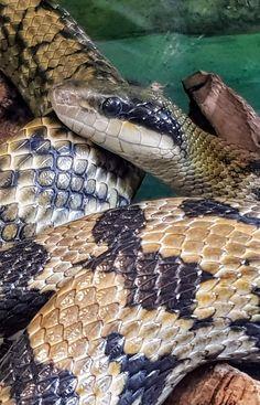 Der Reptilienzoo Happ in Klagenfurt am Wörthersee ist der artenreichste Reptilienzoo in Österreich. Das gesamte Freigelände (4.000 m²) ist aktuell zugänglich. Natürlich finden auch die beliebten Schlangenvorführungen statt. Riesenschildkröten, Wasser- & Landschildkröten, Österreichs heimische Schlangen, Klapperschlangen im Freien, Leguane und Agamen können unter Einhaltung der Sicherheitsmaßnahmen (Coronavirus) auch im Innenbereich besichtigt werden. Klagenfurt, Snake, Animals, Terrariums, Road Trip Destinations, Outdoor, Water, Pet Dogs, Tips