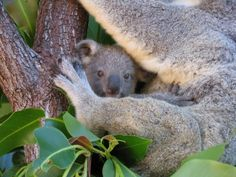 Where to Cuddle a Koala in Cairns