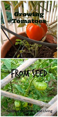 Growing Tomatoes From Seed with Sensible Gardening and Living