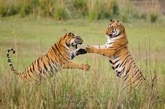 Interested in seeing fun act of two #tigers? Allow us to escort you deep in the jungle http://bit.ly/1Oi2H5B