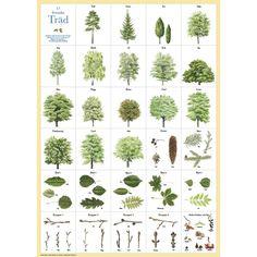 Svenska träd affisch