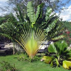 Exotic Travelers Palm