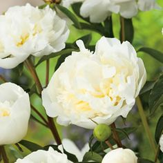 "<p> <span style=""font-style: italic;"">Paeonia lactiflora </span>hybrid<br /> <br /> Ladybird has elegant, pure white, double blooms with a strong fragrance.<br /> <br /> Suits cooler regions, or a cold winter. Re-grow each year forming a leafy clump. Flowers September to December.  Prefers a full sun to part shade position.  ..."