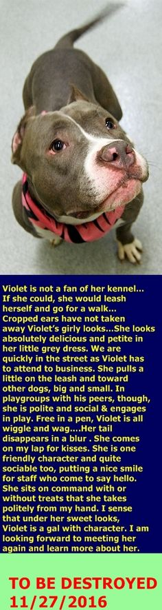 SAFE❤️❤️ 11/29/16 THANK YOU❤️ PLEASE SPOIL HER ROTTEN FOREVER❤️❤️ Manhattan Center My name is VIOLET. My Animal ID # is A1096502. I am a female gray and white pit bull mix. The shelter thinks I am about 3 YEARS old. I came in the shelter as a STRAY on 11/11/2016 from NY 10461, owner surrender reason stated was STRAY. http://nycdogs.urgentpodr.org/violet-a1096502/