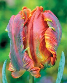 Tulip - parrot tulip 'blumex', planted some this fall, hoping they come up in spring!:)