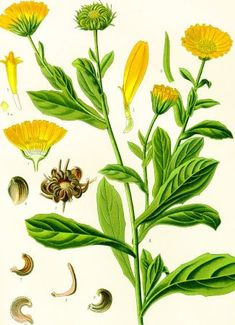 Calendula is one of the amazing botanicals that infuses our natural skincare blends. Calendula is ideal for all skin types, especially hormonal acne. Healing Herbs, Medicinal Plants, Botanical Drawings, Botanical Prints, Calendula Benefits, Calendula Oil, California Poppy, Plantation, Hibiscus