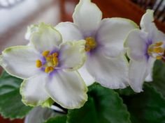 LE-Detskaia Ulybka - Child's Smile (E. Lebetskaia) Russian African violet. White star with blue eye and rays, green edge.
