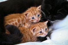 Orange tabby babies