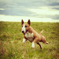bully terrier!