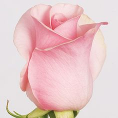 A Pale Pink and Perfect Rose Beautiful Pink Roses, Love Rose, My Flower, Flower Art, Pretty In Pink, Pink Flowers, Flower Power, Beautiful Flowers, Perfect Pink