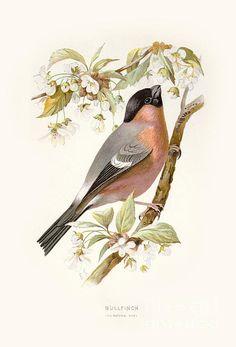 Bullfinch - Familiar wild birds / by W. Vintage Bird Illustration, Botanical Illustration, Illustration Art, Bullfinch, Bird Drawings, Vintage Birds, Watercolor Bird, Wildlife Art, Wild Birds