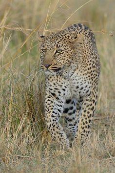 Strolling around - Leopard, Masai Mara, Kenya