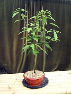 Quercus glauca Jap. Immergrüne Eiche