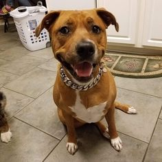 My baby girl loves it. It was definitely a lot nicer in person then the pics.will def be getting another when I get my next pup. - Jeff J. Feedback for THE CAESAR Get yours at BigDogChains.com . Lifetime warranty Custom fit Stainless steel Handmade in Canada . . . . . . . . #bigdogchains #dogchains #dogcollar #golddogcollar #golddogchain #luxurydogcollar #luxurydogchain #dogcollars #collars Gold Dog Collar, Luxury Dog Collars, Big Dogs, My Baby Girl, Pitbulls, Pup, Canada, Stainless Steel, Handmade