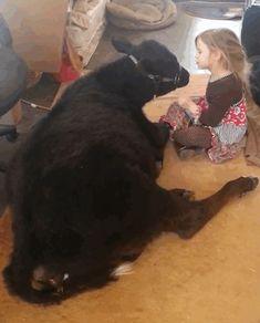 """""""Quand je suis rentré à la maison ma fille avait ramené notre veau dans le salon pour ne pas qu'il attrape froid dehors. Ils étaient en train de faire la sieste sur le tapis."""""""