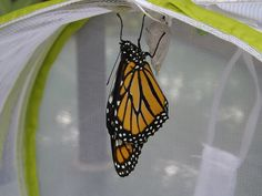 Learn how planting milkweed that is native to your area in your garden can help restore the monarch butterfly population.