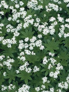 Sweet woodruff- shade perennial-not evergreen