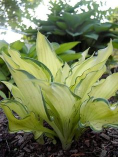 Hosta  Sybil  Photo by Kent Terpening