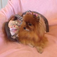 It's time for the first #fashionablepupfriday of July! Everyone meet Deliah, a seven year old Pomeranian. Weighing in at a whopping 5lbs this little cutie is quite the fashionista! According to her momma she loves to dress up and embrace the diva she is. And like any diva she loves attention. She also loves to play and be the loving pup she is!  Oo La La Bow Pair