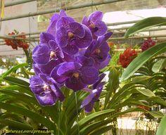 Vanda Prchids | Vanda Orchid Flower Picture | Orchid Flower Fruit Plant Tree Pictures
