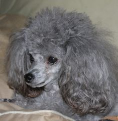 Poodle The Adorable Dog - The Pooch Online Grey Poodle, Silver Poodle, Poodle Mix, Cute Puppies, Cute Dogs, Dogs And Puppies, Doggies, Poodle Grooming, Dog Grooming