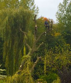 Pruning a Willow Tree