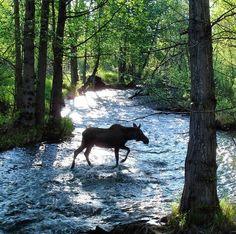 Moose crossing Campbell Creek in Alaska. Photo by Doug Ballou @mypubliclands. usinterior's photo on Instagram