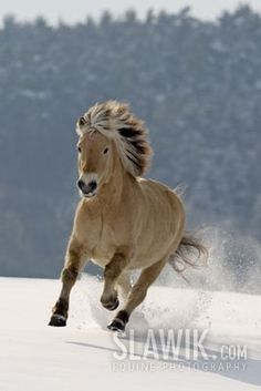 10 Gorgeous Horses with Amazing Hairs Norwegian fjord Horses In Snow, Cute Horses, Horse Love, All The Pretty Horses, Beautiful Horses, Animals Beautiful, Horse Photos, Horse Pictures, Poney Miniature