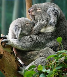 This is the reason we donate $1 from every card sold to help Australian koalas. So the next generation of koalas will have a chance of survival in the Australian bush. www.sarecopeland.com.au