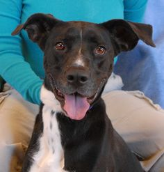 Layla needed us because her previous owner said the family had stopped spending any time with her.  She is afraid of head touches, so we can only imagine what she has endured.  But Layla still believes in people and she shines with a joyful radiance.  Layla is a tuxedo Labrador Retriever mix, 4 years of age, now spayed and debuting for adoption at Nevada SPCA (www.nevadaspca.org).  We want Layla to know such peace and serenity in her new home that all memories of terror fade away.