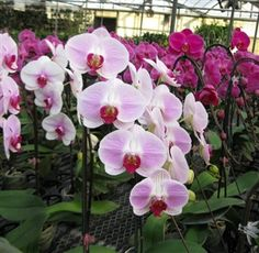 Phalaenopsis Pink w/Red Center - An extra wire is added to this special plant to trail the cascading blooms.  A site to behold!