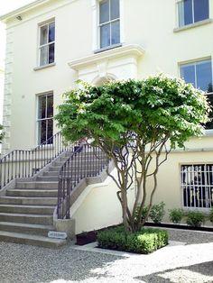 Multi-stemmed Parrotia persica tree: a beautiful sculptural specimen tree