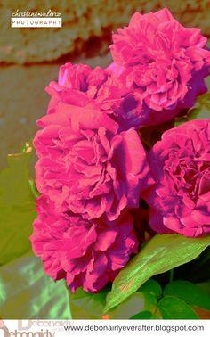 Vintage Roses. (Edited: Color Saturation)